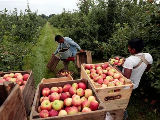 FILE - In this July 9, 2015 file photo, workers harvest early apples at Samascott Orchards in Kinderhook, N.Y. The Commerce Department releases second-quarter gross domestic product on Thursday, Aug. 27, 2015.
