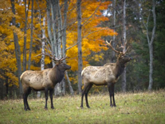 Michigan's wild elk herd is just four hours north of