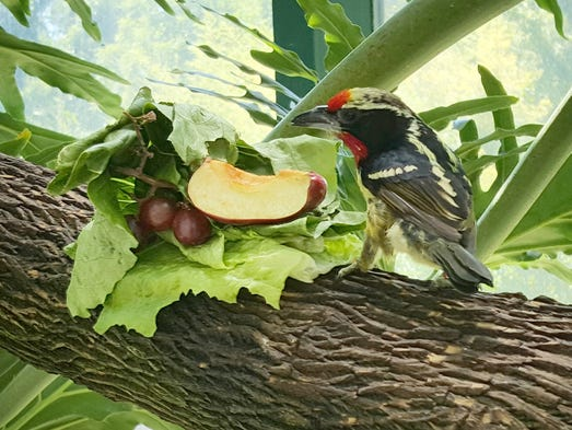 A black-spotted barbet checks out the lunch buffet