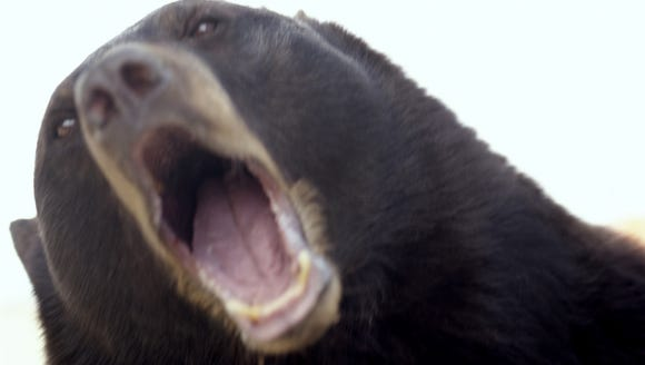 New York hunters harvested a near record total of bears