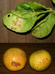 The leaves of a Hamlin orange infected with citrus canker.