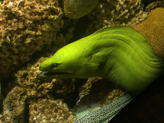 A moray eel peeks its head out of a cave