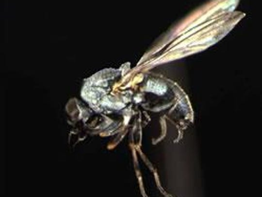 Predatory silver flies were released on Hemlock woolly adelgid pests in the Finger Lakes National Forest.