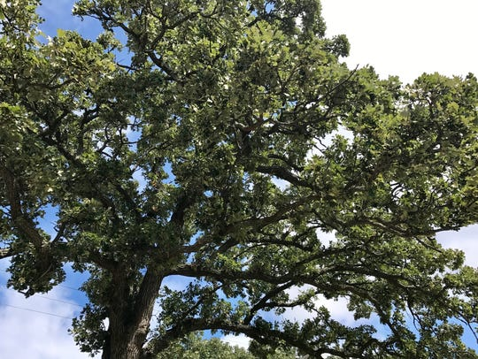 Thick, deeply-furrowed bark enable a Burr Oak to withstand