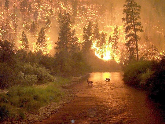 A pair of cow elk stand in a river as flames light