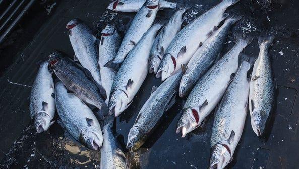 Farm-raised Atlantic salmon caught off Point Williams,