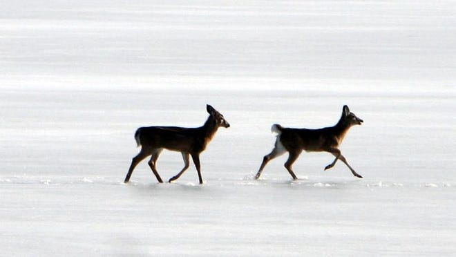 Deer walk across the New Croton reservoir of Route 100 in Somers.
