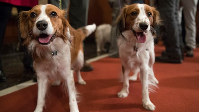 Nederlandse kooikerhondje Escher, right, and Rhett are shown during a news conference at the American Kennel Club headquarters on Jan. 10, 2018, in New York. The club announced that it's recognizing the Nederlandse kooikerhondje and the grand basset griffon Vendeen.