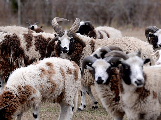 A herd of Jacob sheep graze in the pasture November 18, 2015 at the Sandy Acres Farm homestead in Grass Lake, Michigan.