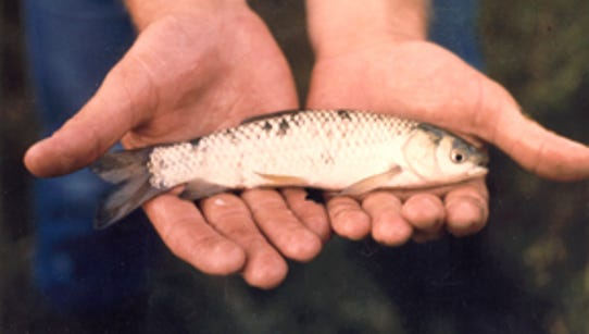 A small triploid (sterile) grass carp of the size that's
