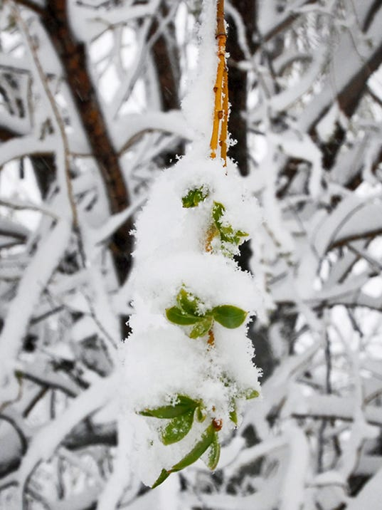 SNOW frosty branches.jpg