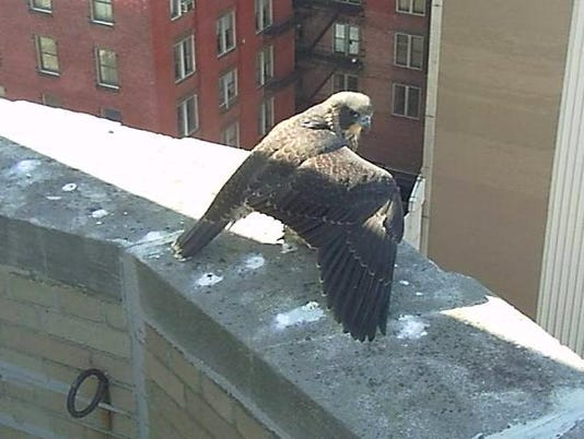 Charlotte the peregrine falcon