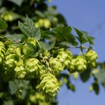 Hops are the flowers of a climbing vine.The flowers look like small green pinecones that are called strobiles in botany. The harvested flowers are dried in oast houses and the dried product is boiled with the malted barley before the yeast is added to begin fermentation.
