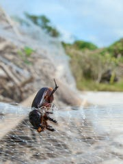 A rhinoceros coconut beetle can be seen entangled in