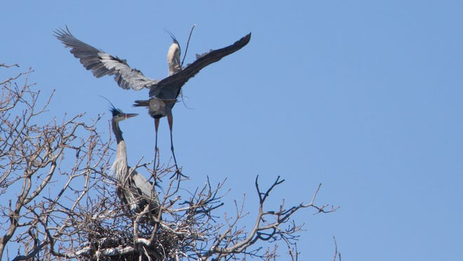 Great blue herons nest in a rookery near the Nature Center of Kensington Metropark