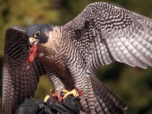 animal ark / falcon