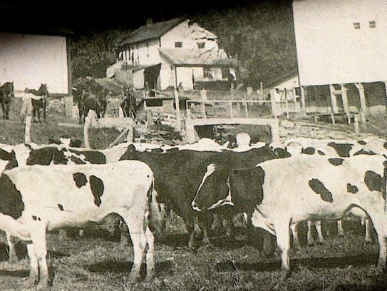 The Hefty dairy barn and lots of cows in 1890. Note