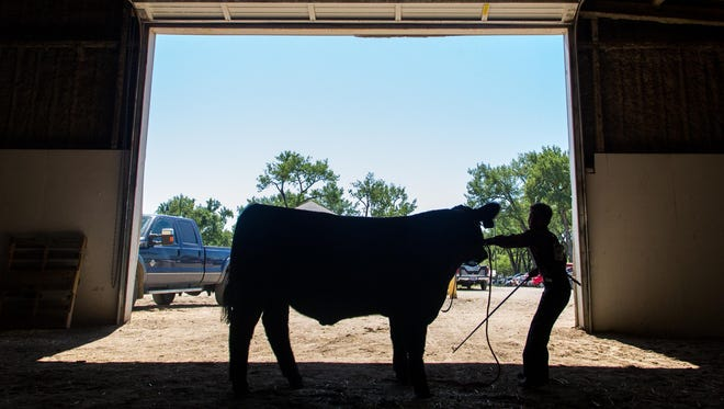 Kaz Schuett maneuvers his steer through the livestock barn at last summer's state fair. The Department of Livestock has a new executive officer.