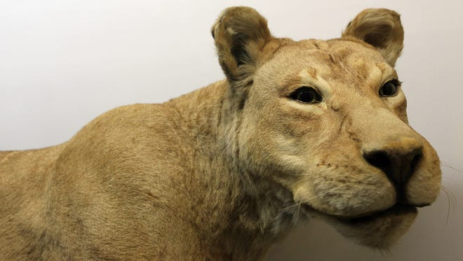 A female lion, which once roamed the City Park Zoo in Iowa City is pictured in the University of Iowa Museum of Natural History in Macbride Hall on Wednesday, Nov. 16, 2016.