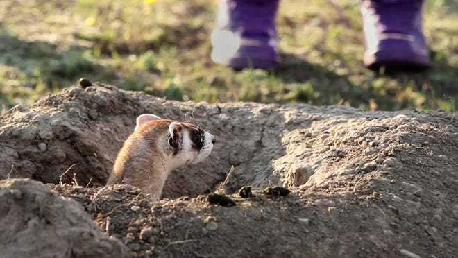 A brave black-footed ferret peers out at the curious students crowded around its new den at Fort Belknap.