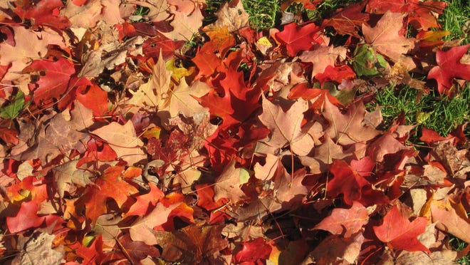Fallen leaves can be used as mulch or raked and composted.