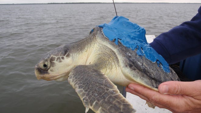 A Kemp's ridley with a tracker.