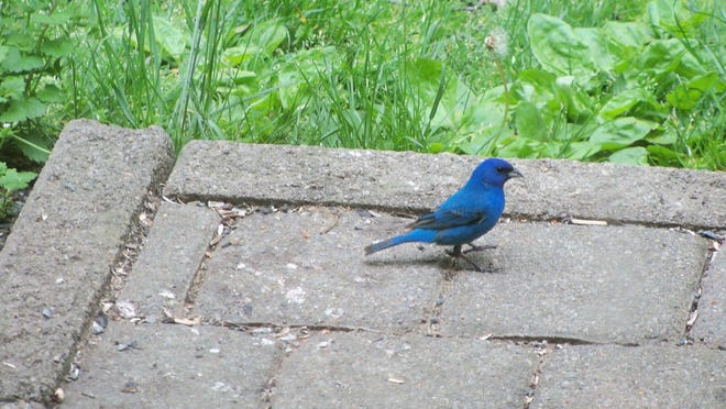 A male indigo bunting is shown in a yard in Salt Point.