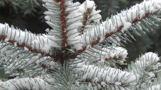 Conifers form the backbone of the garden in winter, providing color, texture and beauty all season long.