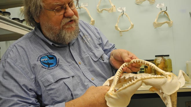 George Burgess, director of the Florida Program for Shark Research at the Florida Museum of Natural History, shows a blacktip shark jaw in his research laboratory. Photo by Stacey Barchenger FLORIDA TODAY. July 2014.