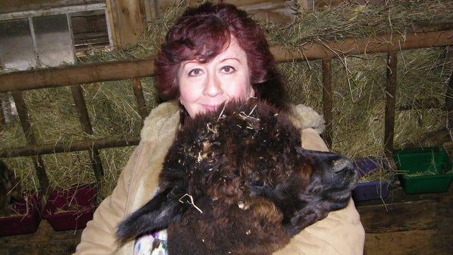 Sandy Rios with Poncho, one of her youngest Alpacas, at her Colby Critters farm. Rios has been keeping alpacas for about nine years.