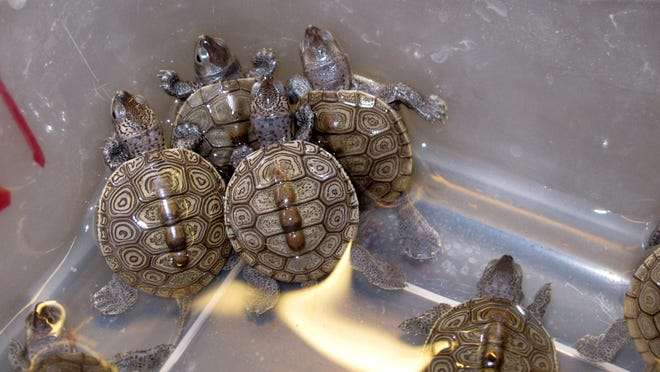 Baby diamondback terrapin turtles swim in a container at the Marine Academy of Technology and Environmental Science in Manahawkin, N.J. on Tuesday Dec. 16, 2014. Students who study and care for turtles at the school recently got New Jersey legislators to introduce a bill that would make it illegal to catch or take the turtles from the wild. (AP Photo/Wayne Parry)