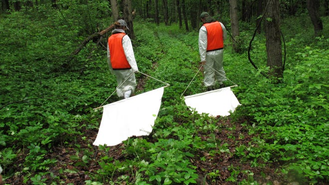 In a Thursday, June 12, 2014 photo, Samantha Durfey, left, and Christiaan King drag corduroy cloth squares through underbrush to collect ticks during field work at the Pine Bush Preserve in Albany, N.Y.Researchers from Paul Smith's College, the Trudeau Institute and state Health Department have launched a study to document the spread of ticks and Lyme disease into the Adirondacks. (AP Photo/Mary Esch) (AP Photo/Mary Esch)