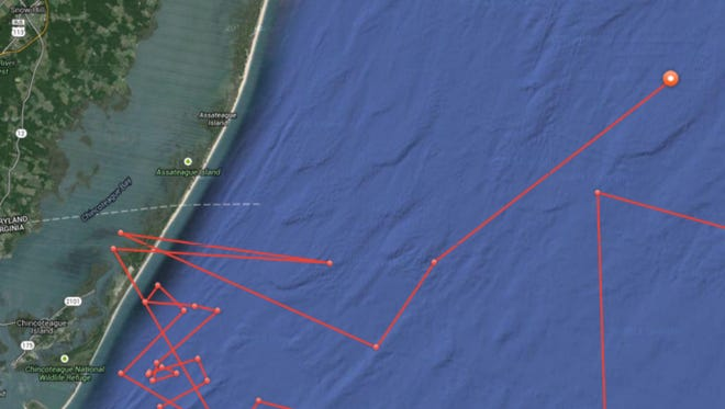 An OCEARCH image shows great white shark Mary Lee more than 20 miles off Assateague Island this morning.