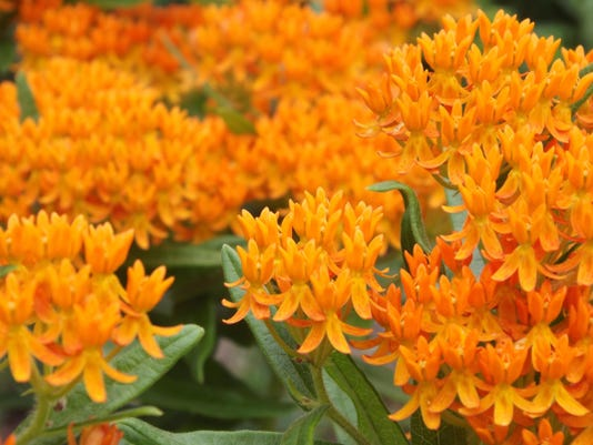 butterfly weed is 2017 perennial plant of the year - Uf Butterfly Garden