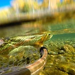 A rainbow trout swims away after being caught on a dry fly.