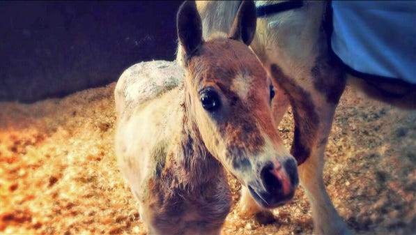 Butterscotch survived a barn fire in Alvarado because her mom, Bella, used her body to shield her foal from the flames.