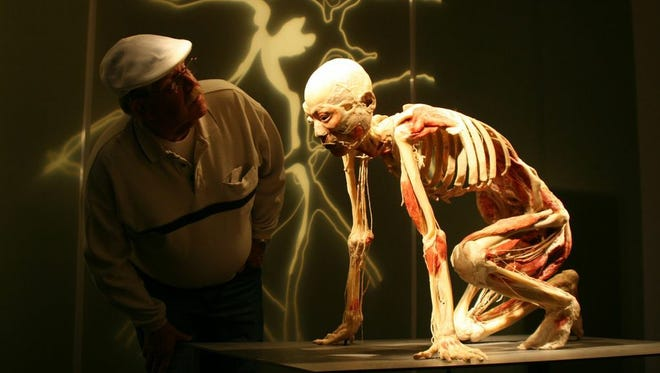 """Many of exhibits in """"Bodies Revealed"""" feature the skeletons in athletic poses, such as this one that features the ribcage and lungs. The exhibit will be featured free at the Bossard Memorial Library in Gallipolis, beginning Sept. 25/"""