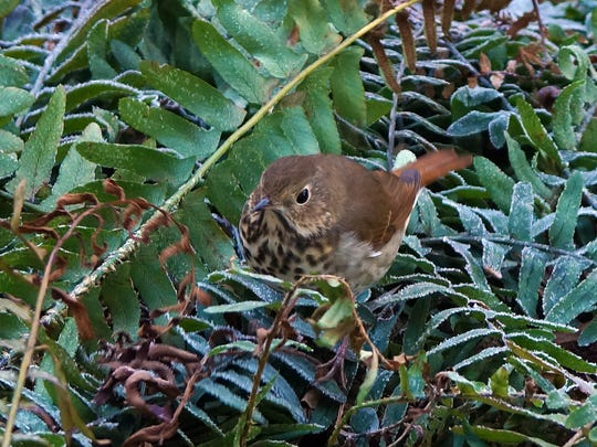 A hermit thrush forages for seeds.