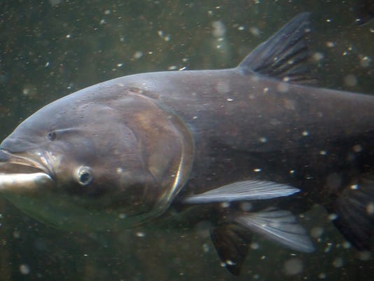 DFP 0426_asian_carp_for_green_top_5.JPG