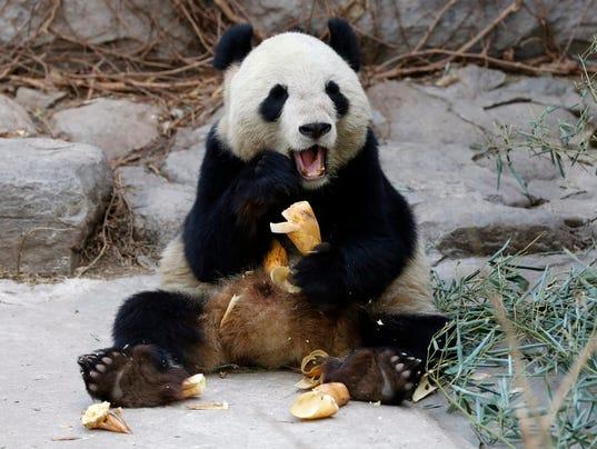 EPA CHINA ZOO PANDA HUM ANIMALS CHN