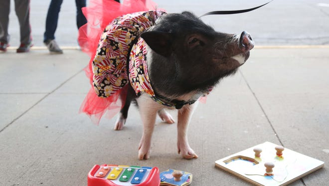 Joy, the 4-year-old American Mini Pig, does tricks outside the Capitol II Theatre in Newton.