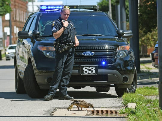 Mansfield police officer Sara Mosier-Napier watches as a mother duck peeks down a storm drain with one of her ducklings. The other nine were trapped beneath the storm grate. All were reunited after police and members of the Mansfield street department rescued the ducklings.
