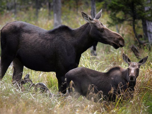 AP MOOSE HERD NEW HAMPSHIRE A FILE USA NH