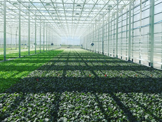 The interior of a BrightFarms greenhouse in Chicago
