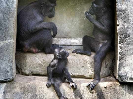 051312 - E13ZOOBABIES - METRO CP AND JUMP - May 1, 2012 -  A baby Sulawesi Macaque, Zimm,  watches and learns from her family in the Sulawesi Macaque exhibit.  Zimm was born at the end of October. Primates in general display excellent mothering skills spending much of the day playing with and bonding with their babies and the groups form little families including a male who protects them. The springtime at the Memphis Zoo is a great time to find babies and their mothers on display.