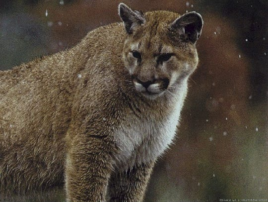 A Colorado man suffocated a mountain lion in self-defense on Monday, officials said.