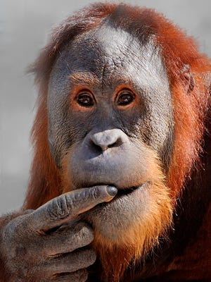 Rocky has shown that orangutans are capable of more complicated vocalizations than thought.
