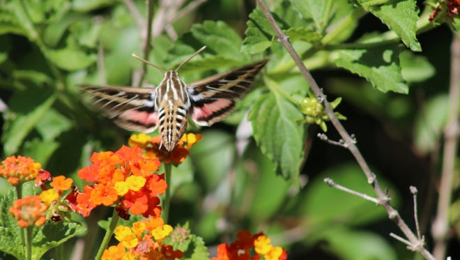 The White-Lined Sphinx Moth - a fairly common guest to Montana flower gardens during the summer
