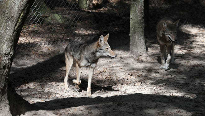 The Tallahassee Museum is housing four, 5-month-old Red Wolf pups with their parents seen here on Friday, Oct. 20, 2017. Less than 50 Red wolves remain in the wild according to the Red Wolf Species Survival Plan (SSP), the museum as the museum participates in a recovery project hoping to bring the native species back from the brink of extinction.