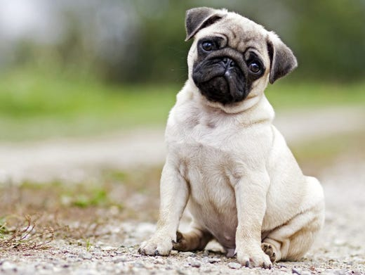 15. Pugs • Average weight (male): 14-18 lbs. • Popularity